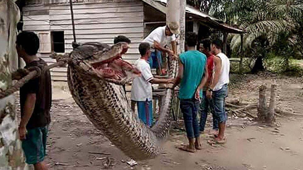 Індонезійці з'їли величезного пітона