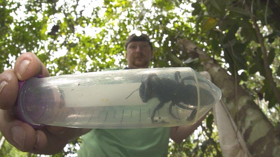 World's biggest bee found alive
