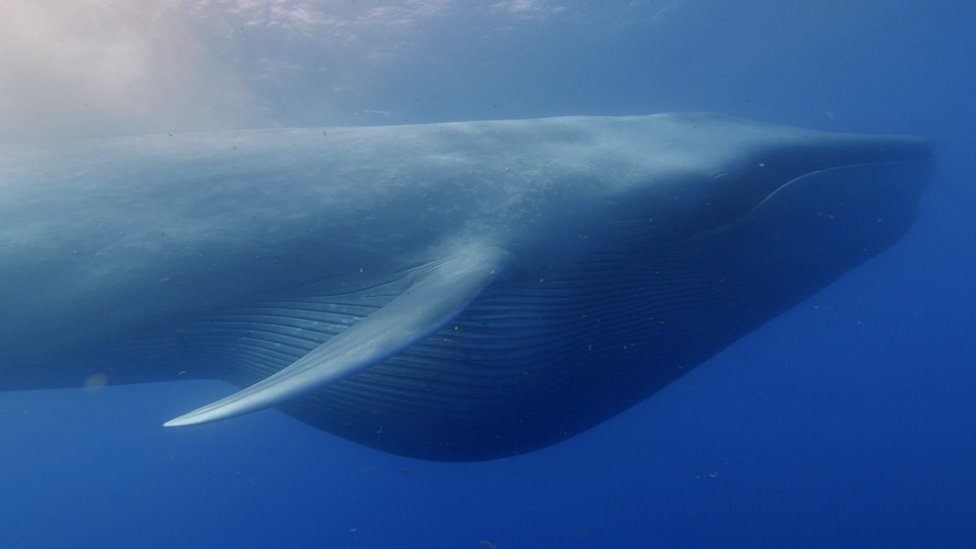 How blue whales became so big