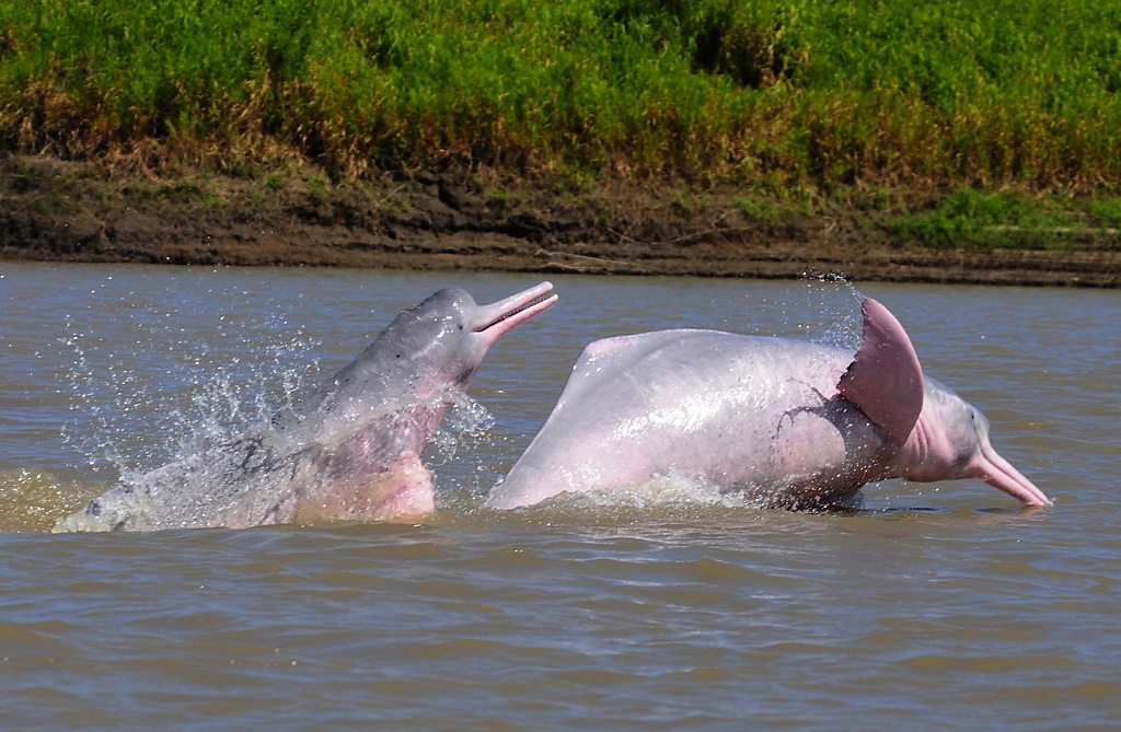 The man risking his life to save pink dolphins