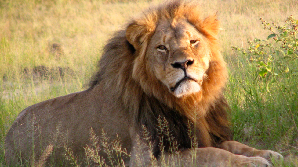 Zimbabwe says it is seeking a second American over the illegal killing of a lion, as the outcry over the death of famed animal Cecil continues.