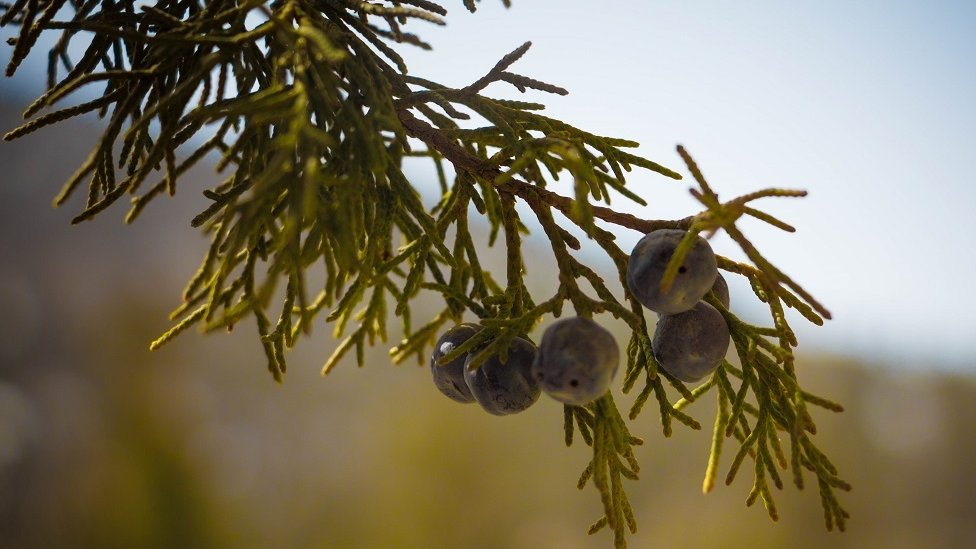 Pakistan's Ziarat: An ancient juniper forest and its living fossils | BBC