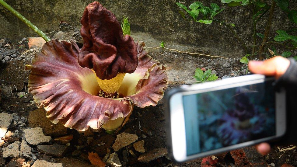 Bunga Bangkai Ditemukan Di Sukabumi Dan Kudus Bukan Tumbuhan Langka Bbc News Indonesia