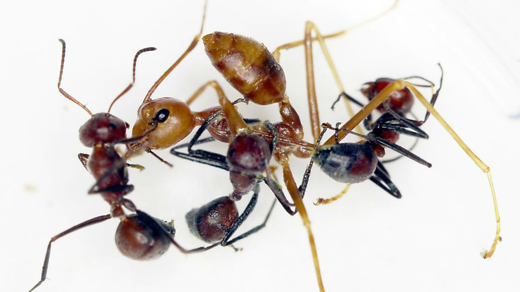 'Exploding ant' species found in South East Asia
