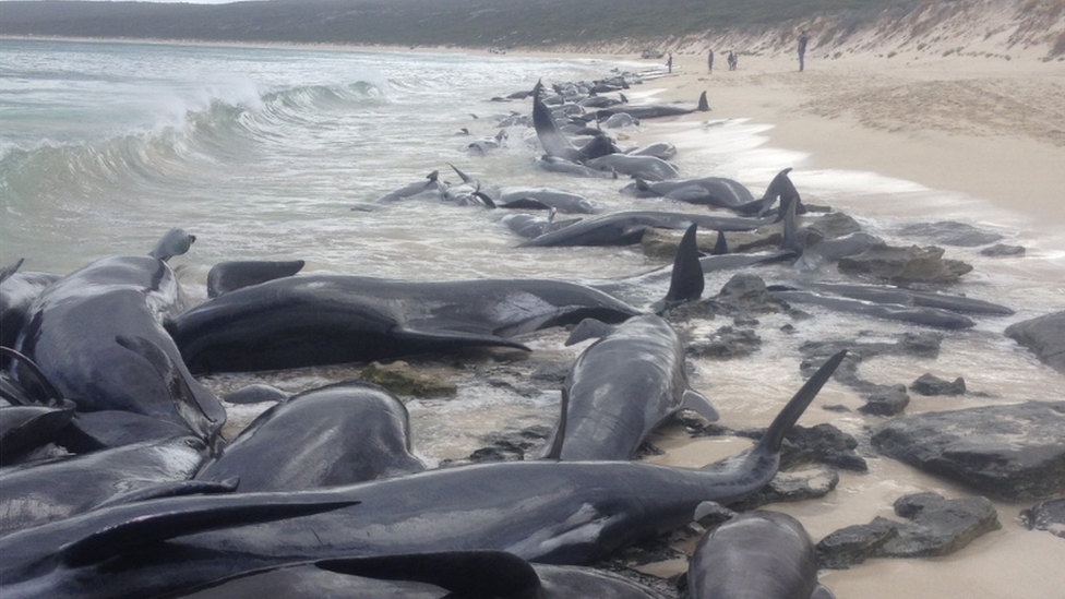 Whales in mass stranding on Western Australia beach