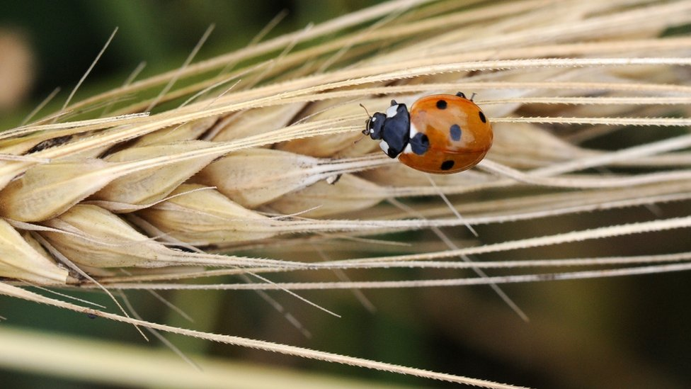 A ladybird on an ear of wheat