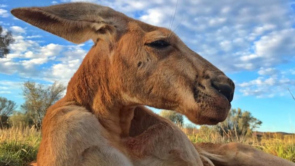 Roger the kangaroo: Enormous roo dies aged 12