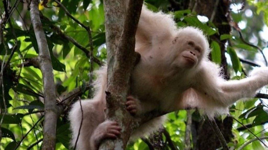 Rare albino orangutan 'Alba' returns to the wild