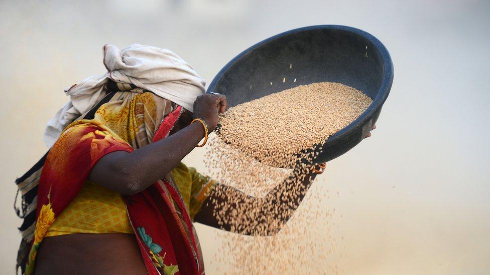 Woman threshing wheat