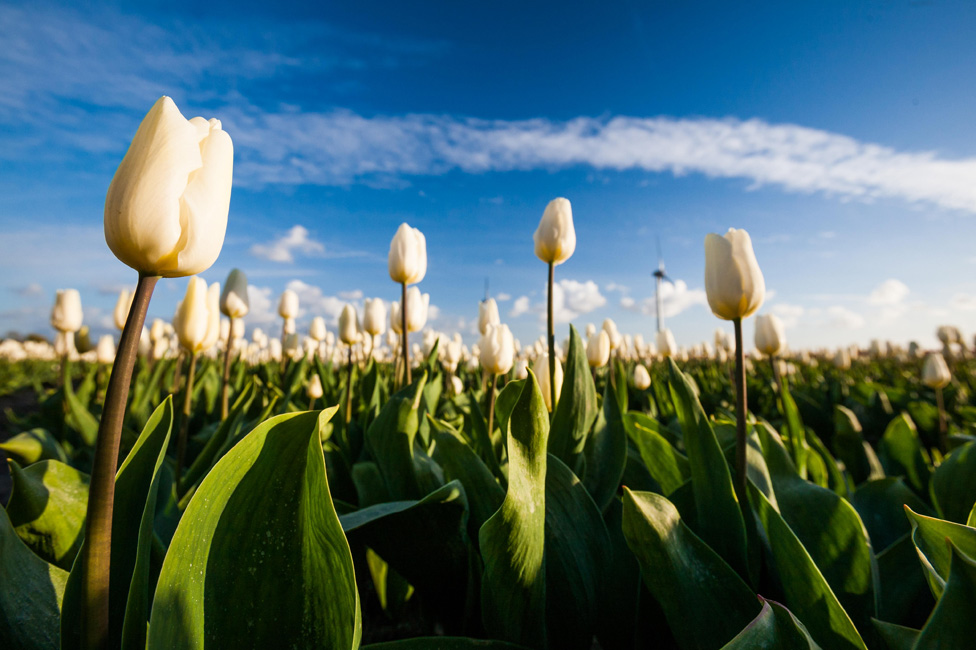 White tulips growing in a field