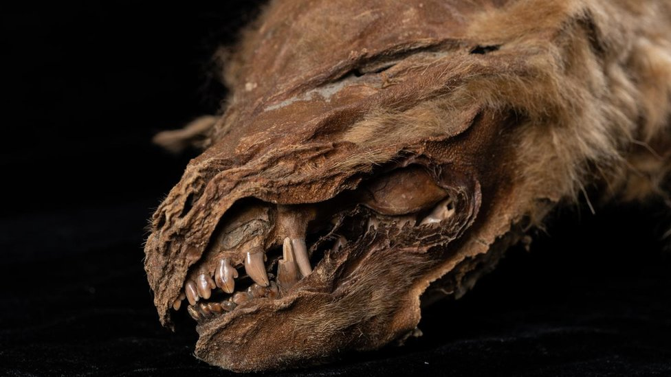 Ancient mummified wolf cub in Canada 'lived 56,000 years ago' thumbnail