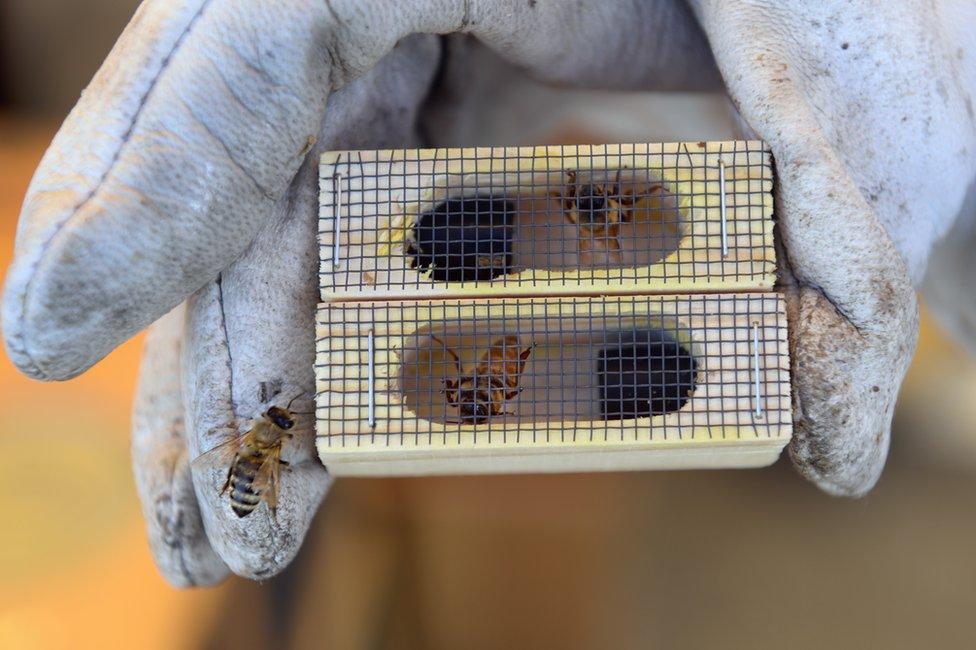 Las abejas reina son vitales para el bienestar de su colmena y hay un gran mercado para las criadas especialmente