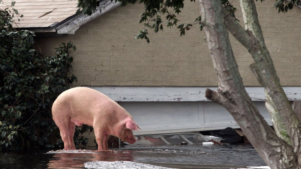 A pig stranded on top of a car after Hurricane Floyd hit North Carolina in 1999