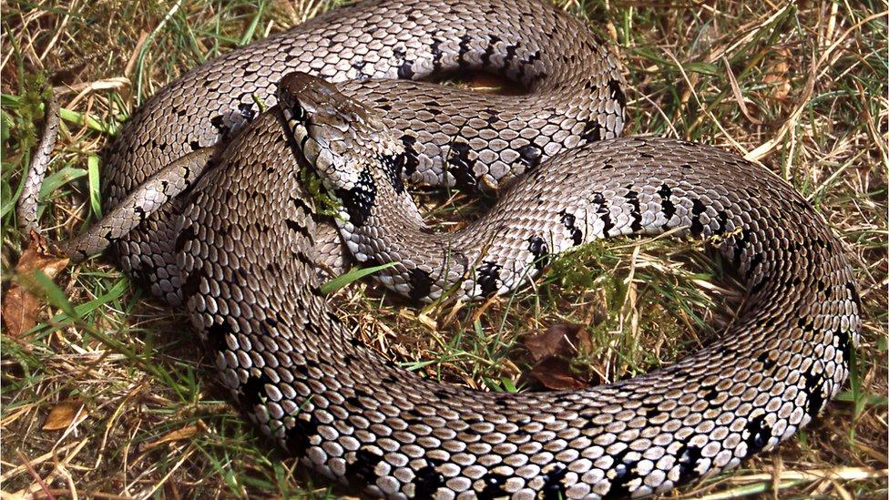 Barred grass snake (Natrix helvetica)
