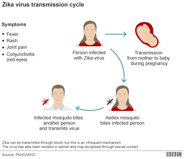 Zika virus cycle