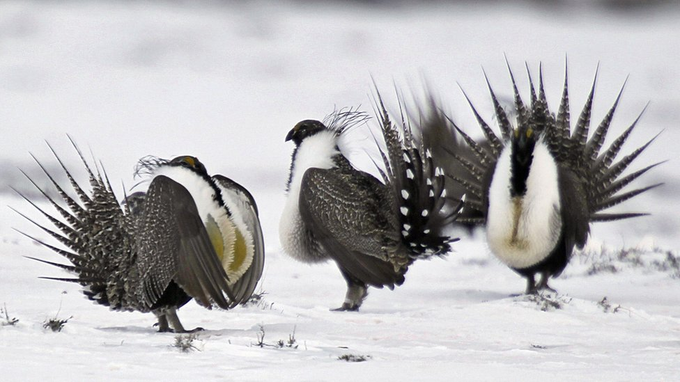 In complex deal involving private and federal land, President Obama set aside 67 million acres to help recover the American Greater Sage Grouse, a highly endangered bird