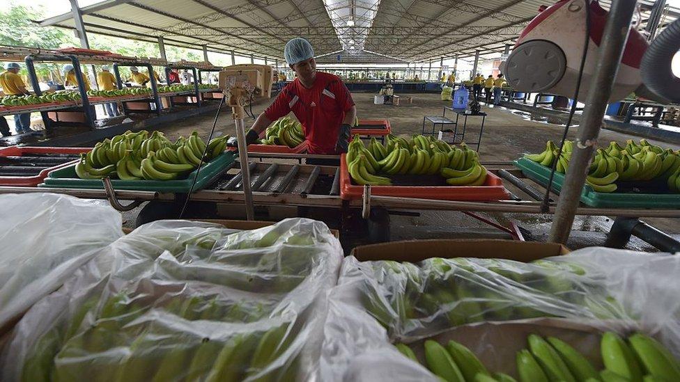 Empresa bananera en Ecuador.