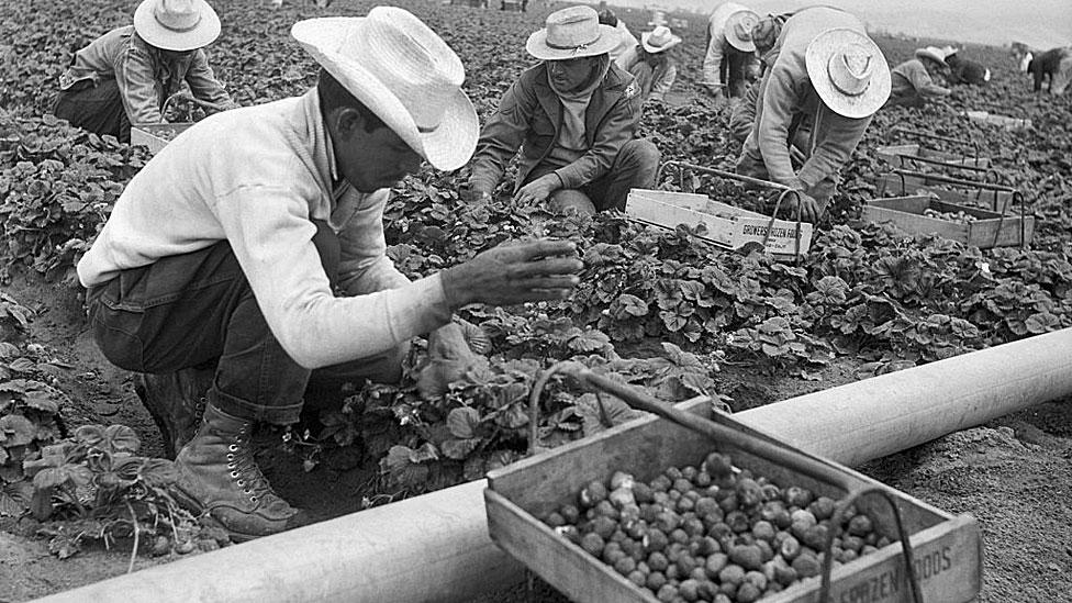 Recogiendo fresas en el Valle Salinas.