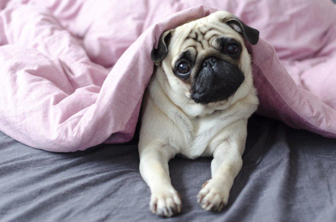Un perro súper lindo, mirándote con ojos suplicantes debajo de una manta rosa.