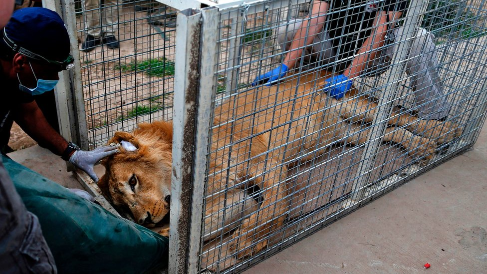 File photo from 28 March 2017 shows members of Four Paws International treating Simba, a lion abandoned in a cage at a zoo in Mosul