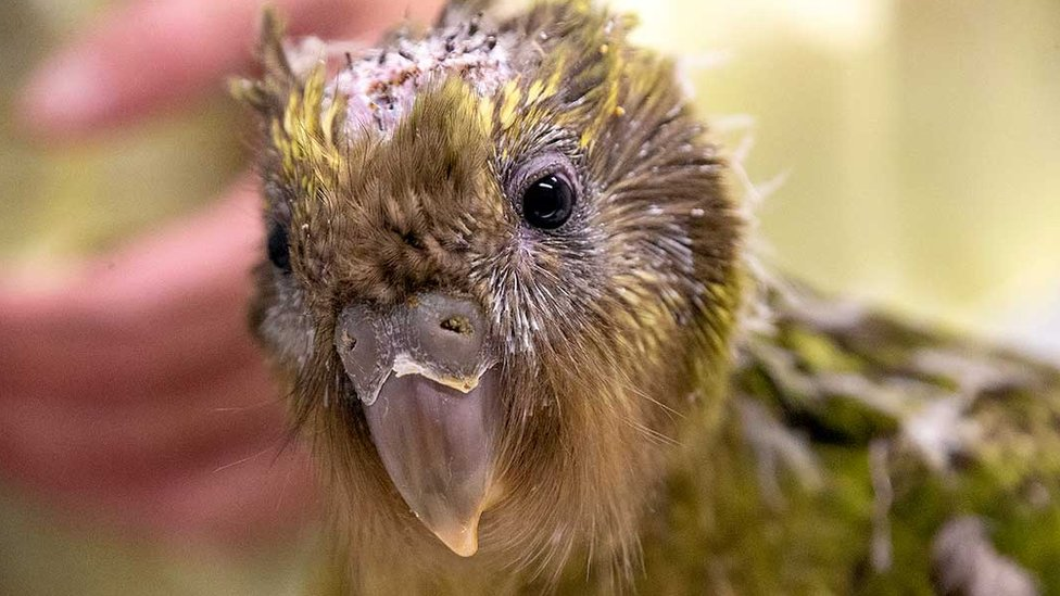 The kakapo chick is seen after its life-saving surgery