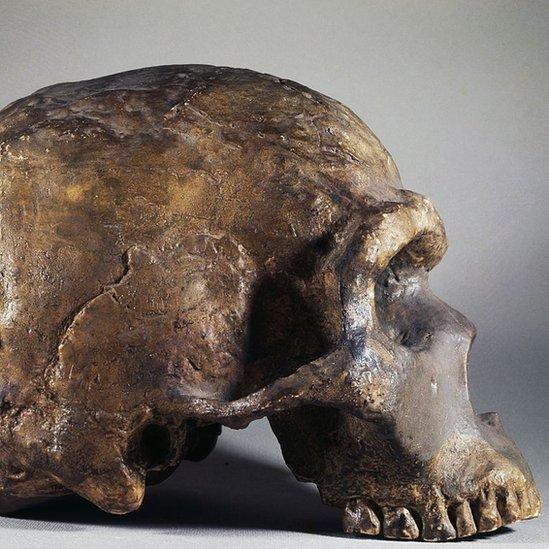 Cráneo de un neandertal.