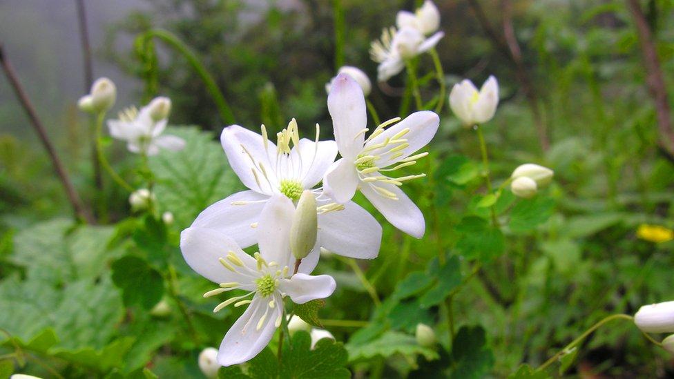 Thalictrum - genus of herbaceous perennial flowering plants