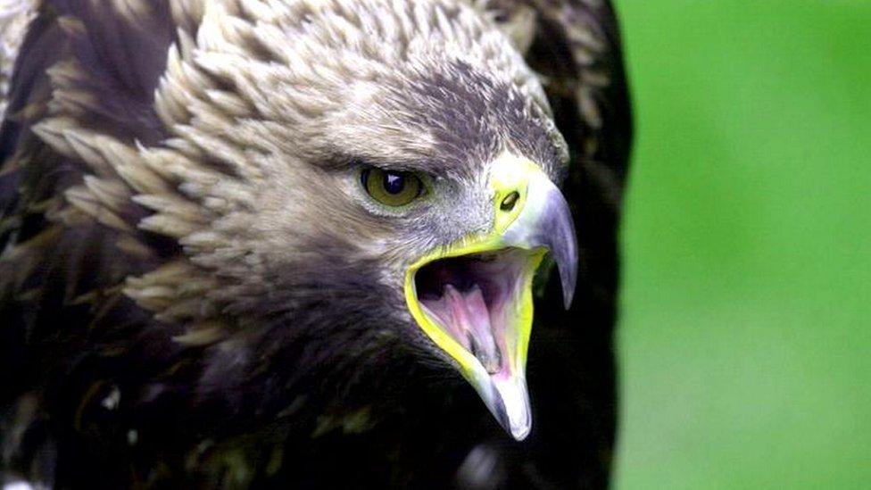 Eggs 'stolen' from golden eagle nest in Cairngorms