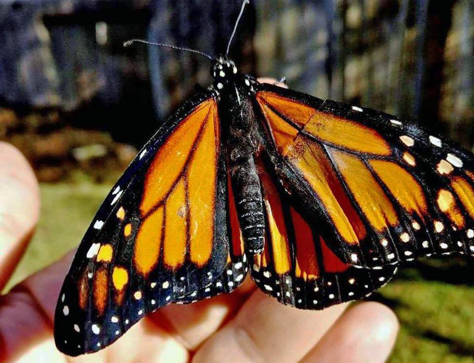 Leptir sa popravljenim krilom na žbunu