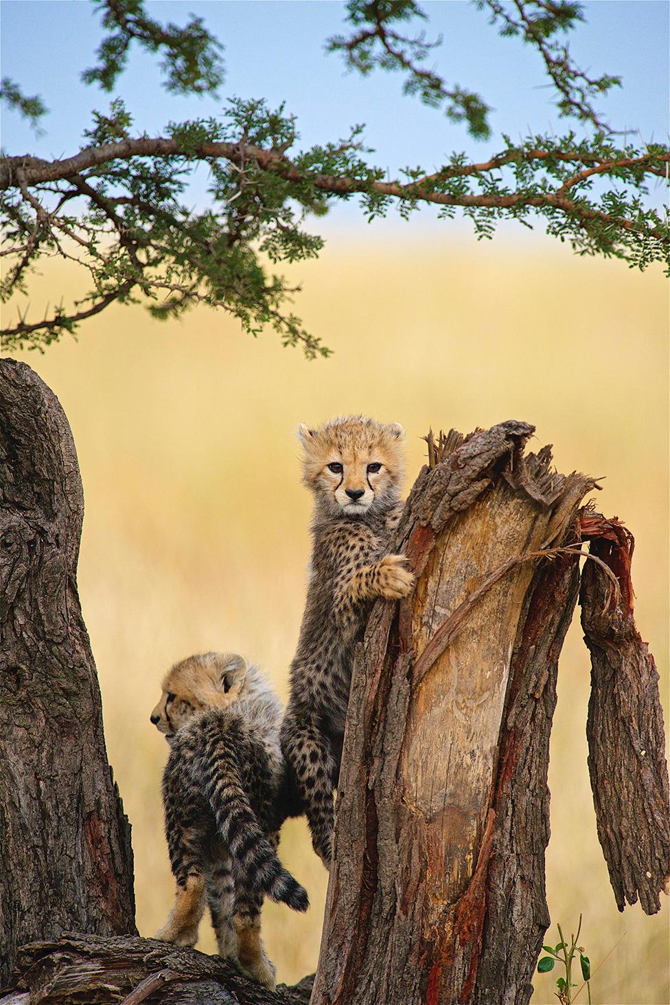 Mladunci geparda penju se na drvo