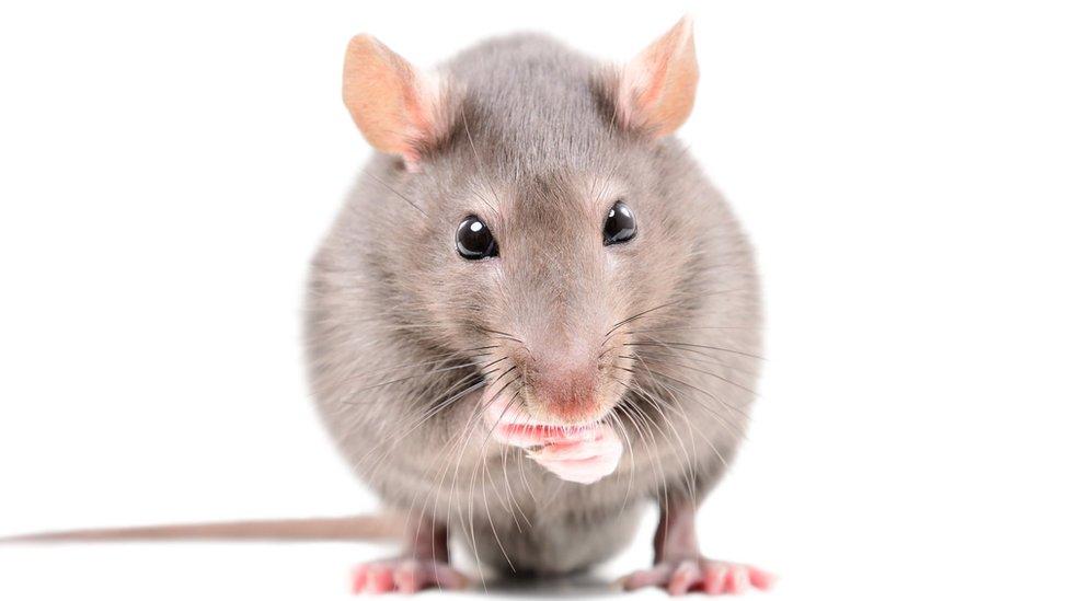 吃東西的老鼠