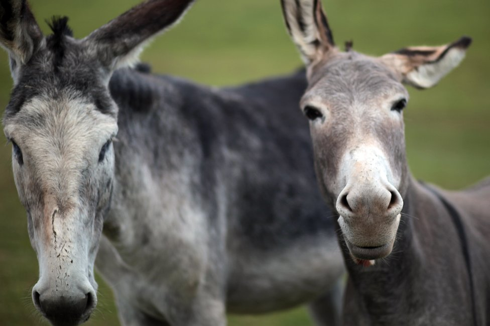 Two donkeys look at the camera against a green field in this photo