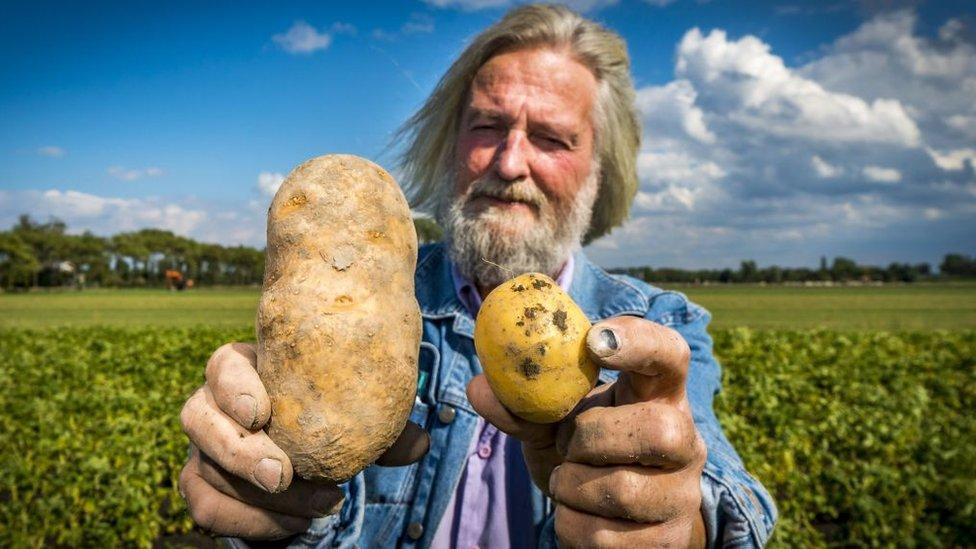 Campesino holandés mostrando sus papas