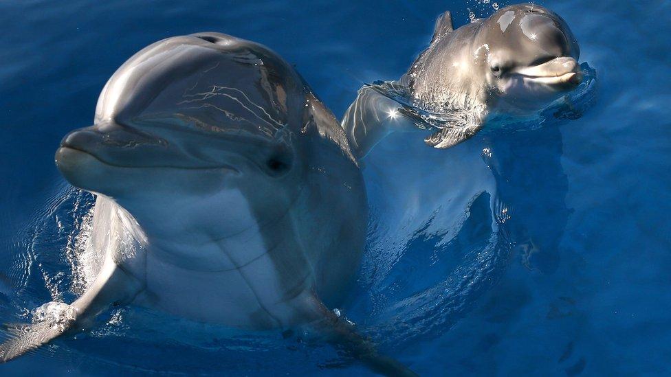 Що сталося з бойовими дельфінами після анексії Криму - огляд ЗМІ