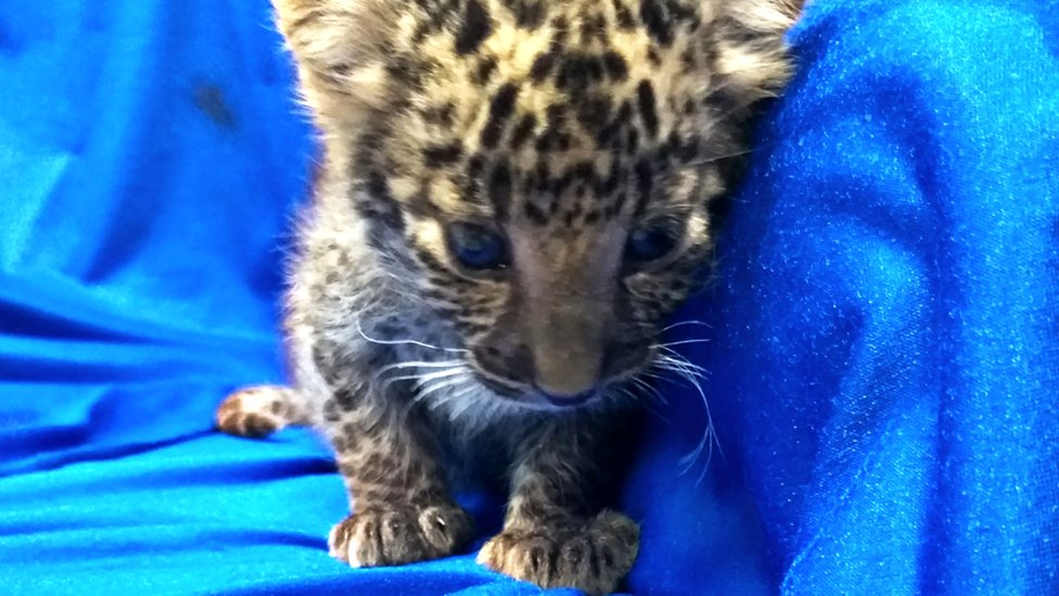 A leopard cub seized from the luggage of a passenger travelling from Bangkok to Chennai International airport, 2 February 2019