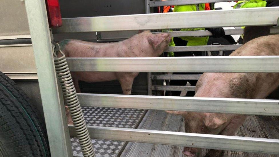 Pig trailer overturns on M1 motorway