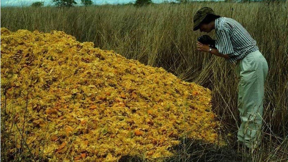 Los desechos de naranja se descompusieron gracias al trabajo de las larvas de moscas, los hongos y los microbios.