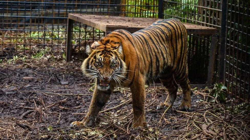 File image of a Sumatran tiger