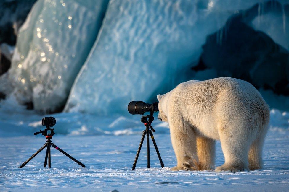 Polar bear looking at a camera on a tripod