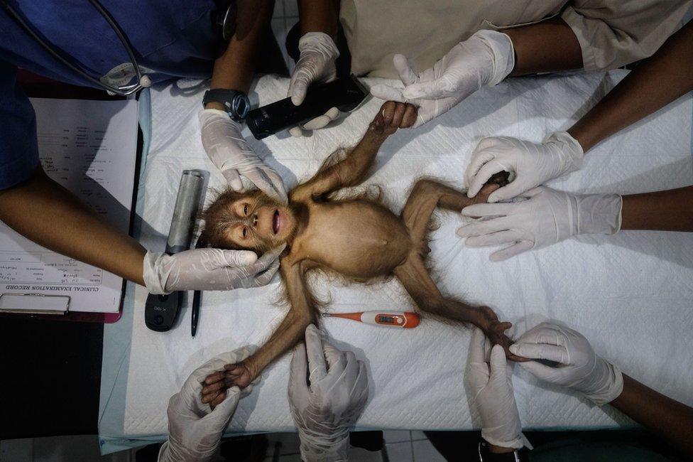 Tim specijalista uspavljuje mladunče orangutana i priprema ga za operaciju