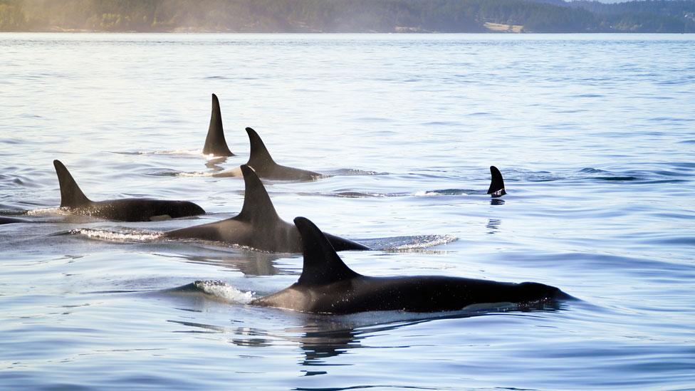 Conjunto de orcas