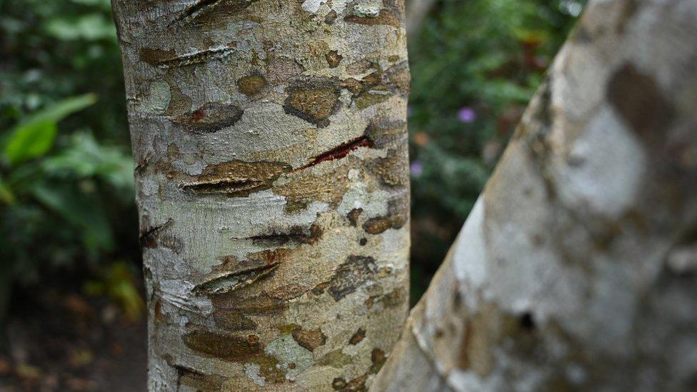 El árbol Croton lechleri