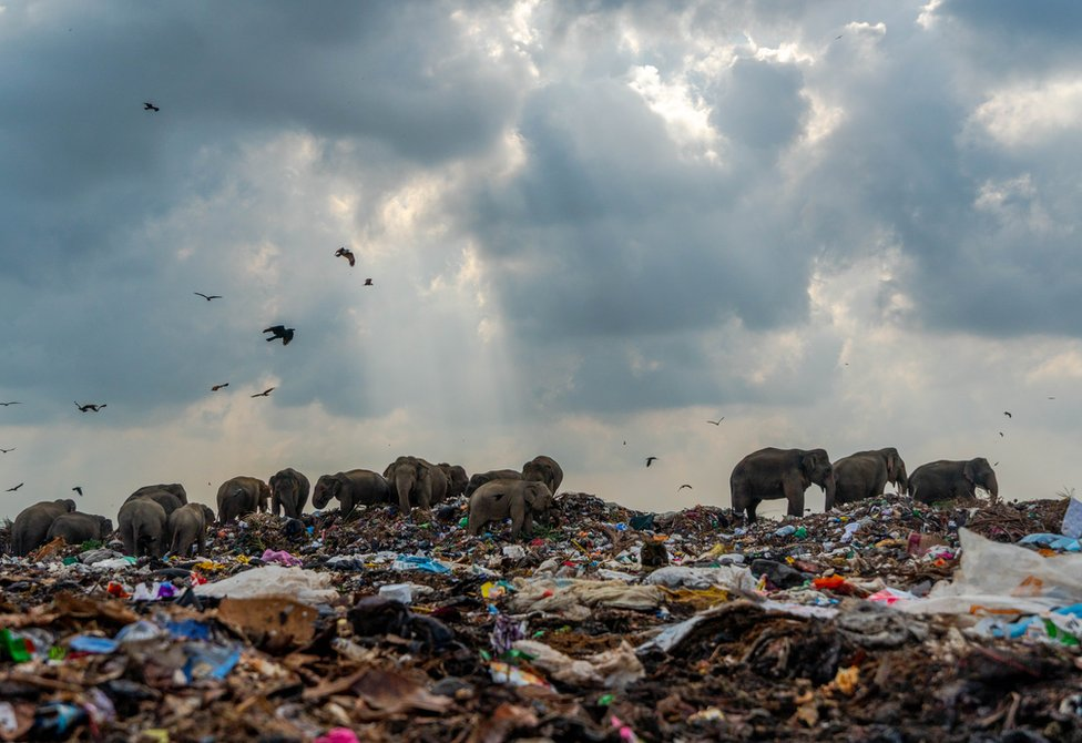 A group of elephants search a garbage dump for food