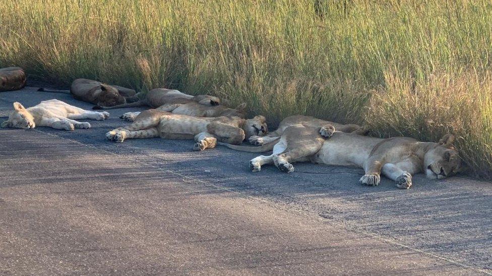lavovi u parku