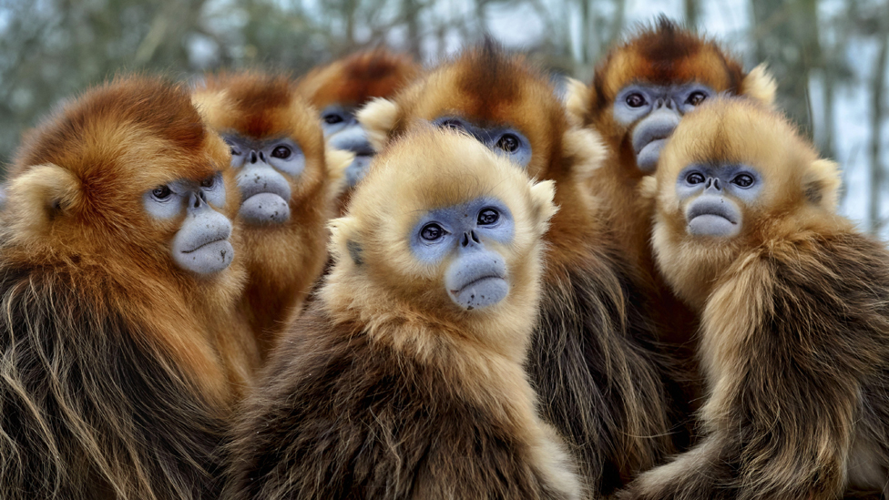 Golden haired blue-faced snub-nosed snow monkey.