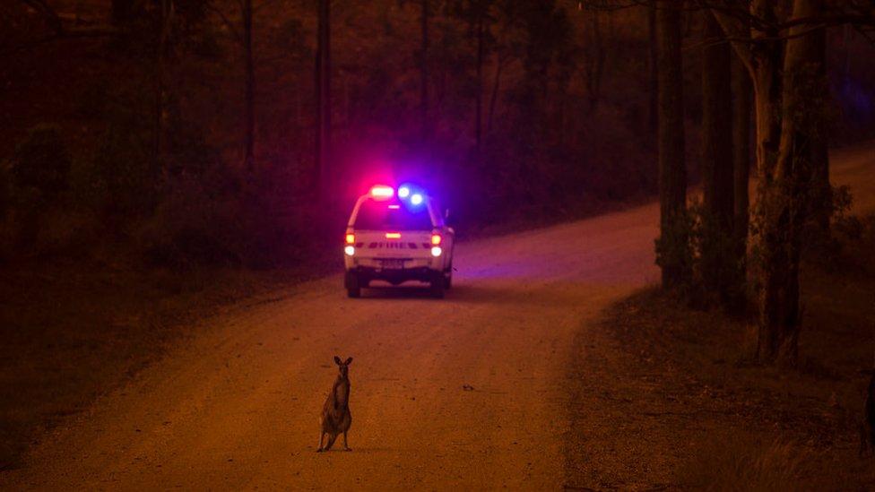 Un ualabí en la carretera detrás de un auto de emergencia luego de escapar de los incendios en Nueva Gales del Sur.