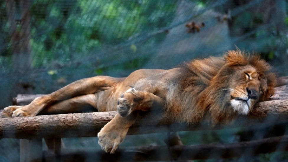 A lion sleeps inside a cage at the Caricuao Zoo in Caracas, Venezuela July 12, 2016.