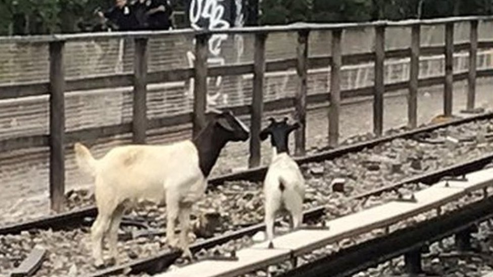 Comedian Jon Stewart rescues goats from New York subway tracks