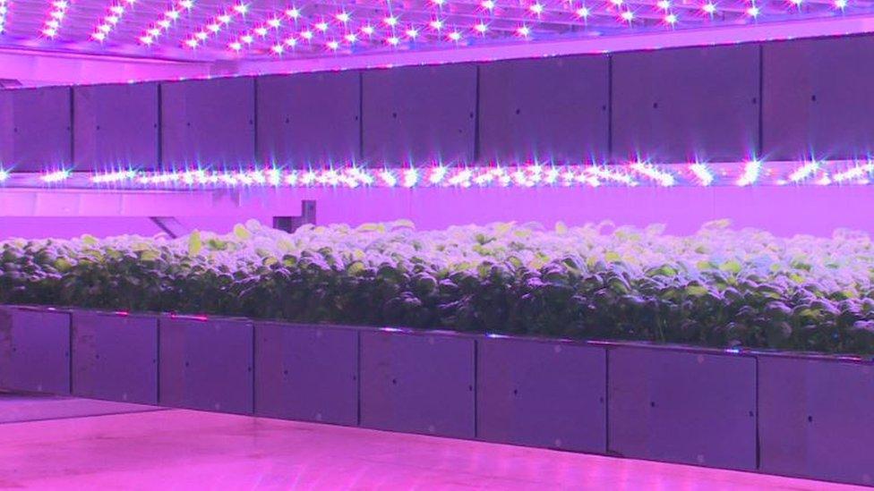 Basil growing in vertical farm