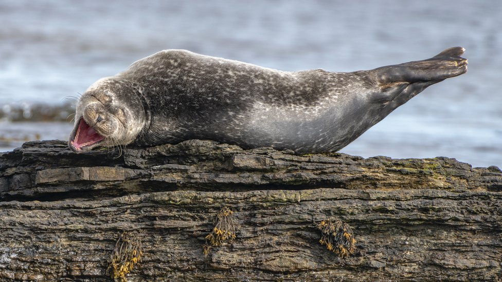 A large seal lying on a rock appearing to laugh